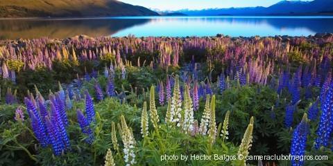 Rise of the Lupines- Lake Tekapo New Zealand